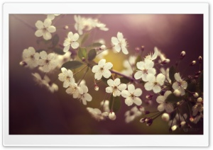 Cherry Plum Flowers Springtime HD Wide Wallpaper for 4K UHD Widescreen desktop & smartphone