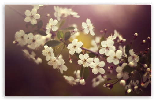 Cherry Plum Flowers Springtime UltraHD Wallpaper for Wide 16:10 5:3 Widescreen WHXGA WQXGA WUXGA WXGA WGA ; 8K UHD TV 16:9 Ultra High Definition 2160p 1440p 1080p 900p 720p ; UHD 16:9 2160p 1440p 1080p 900p 720p ; Standard 4:3 5:4 3:2 Fullscreen UXGA XGA SVGA QSXGA SXGA DVGA HVGA HQVGA ( Apple PowerBook G4 iPhone 4 3G 3GS iPod Touch ) ; Tablet 1:1 ; iPad 1/2/Mini ; Mobile 4:3 5:3 3:2 16:9 5:4 - UXGA XGA SVGA WGA DVGA HVGA HQVGA ( Apple PowerBook G4 iPhone 4 3G 3GS iPod Touch ) 2160p 1440p 1080p 900p 720p QSXGA SXGA ; Dual 16:10 5:3 16:9 4:3 5:4 WHXGA WQXGA WUXGA WXGA WGA 2160p 1440p 1080p 900p 720p UXGA XGA SVGA QSXGA SXGA ;