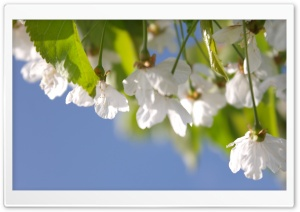 Cherry Tree HD Wide Wallpaper for Widescreen