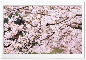 Cherry Tree Branches HD Wide Wallpaper for Widescreen