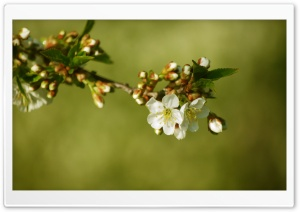 Cherry Tree Buds HD Wide Wallpaper for Widescreen