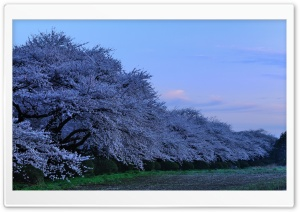 Cherry Trees HD Wide Wallpaper for Widescreen
