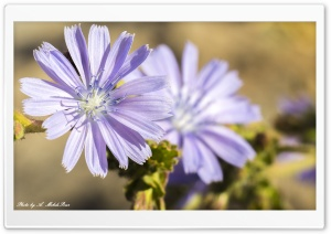 Chicory HD Wide Wallpaper for Widescreen
