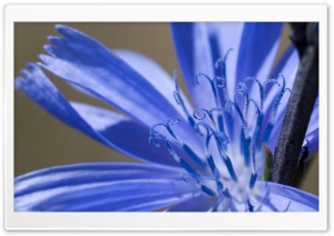 Chicory Macro HD Wide Wallpaper for Widescreen