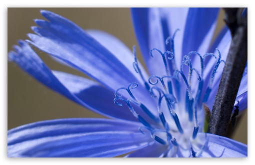 Chicory Macro ❤ 4K UHD Wallpaper for Wide 16:10 5:3 Widescreen WHXGA WQXGA WUXGA WXGA WGA ; 4K UHD 16:9 Ultra High Definition 2160p 1440p 1080p 900p 720p ; Standard 4:3 5:4 3:2 Fullscreen UXGA XGA SVGA QSXGA SXGA DVGA HVGA HQVGA ( Apple PowerBook G4 iPhone 4 3G 3GS iPod Touch ) ; Smartphone 5:3 WGA ; Tablet 1:1 ; iPad 1/2/Mini ; Mobile 4:3 5:3 3:2 16:9 5:4 - UXGA XGA SVGA WGA DVGA HVGA HQVGA ( Apple PowerBook G4 iPhone 4 3G 3GS iPod Touch ) 2160p 1440p 1080p 900p 720p QSXGA SXGA ;