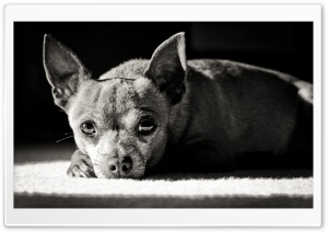 Chihuahua Black and White HD Wide Wallpaper for Widescreen