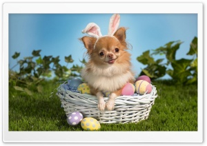 Chihuahua Wearing Bunny Ears Ultra HD Wallpaper for 4K UHD Widescreen desktop, tablet & smartphone
