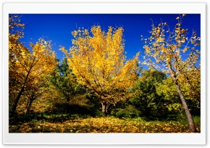 Chinese Ginkgo Trees Fall HD Wide Wallpaper for Widescreen