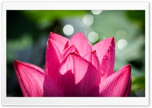 Chinese Lotus HD Wide Wallpaper for Widescreen