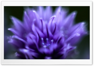 Chive Flower HD Wide Wallpaper for Widescreen