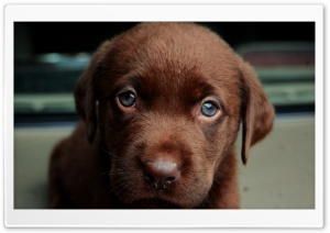 Chocolate Puppy HD Wide Wallpaper for Widescreen