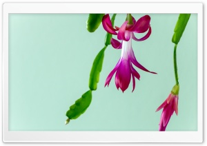 Christmas Cactus HD Wide Wallpaper for Widescreen