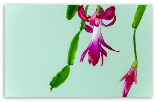 Christmas Cactus ❤ 4K UHD Wallpaper for Wide 16:10 5:3 Widescreen WHXGA WQXGA WUXGA WXGA WGA ; 4K UHD 16:9 Ultra High Definition 2160p 1440p 1080p 900p 720p ; UHD 16:9 2160p 1440p 1080p 900p 720p ; Standard 4:3 5:4 3:2 Fullscreen UXGA XGA SVGA QSXGA SXGA DVGA HVGA HQVGA ( Apple PowerBook G4 iPhone 4 3G 3GS iPod Touch ) ; Tablet 1:1 ; iPad 1/2/Mini ; Mobile 4:3 5:3 3:2 16:9 5:4 - UXGA XGA SVGA WGA DVGA HVGA HQVGA ( Apple PowerBook G4 iPhone 4 3G 3GS iPod Touch ) 2160p 1440p 1080p 900p 720p QSXGA SXGA ;