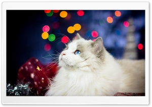 Christmas kitten HD Wide Wallpaper for Widescreen