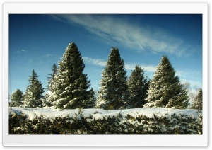 Christmas Trees Covered In Snow HD Wide Wallpaper for Widescreen