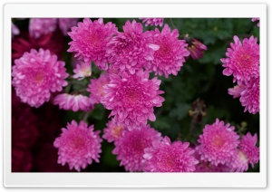 Chrysanthemum Flowers Ultra HD Wallpaper for 4K UHD Widescreen desktop, tablet & smartphone