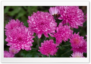 Chrysanthemums Ultra HD Wallpaper for 4K UHD Widescreen desktop, tablet & smartphone