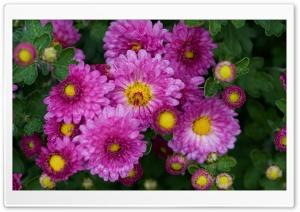 Chrysanthemums, Chrysanths, Mums, Flowers Ultra HD Wallpaper for 4K UHD Widescreen desktop, tablet & smartphone