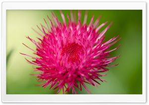 Cirsium Japonicum Flower Macro HD Wide Wallpaper for Widescreen