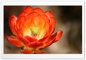 Claret Cup Cactus Blossom HD Wide Wallpaper for Widescreen