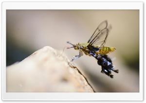 Clearwing Moth Ultra HD Wallpaper for 4K UHD Widescreen desktop, tablet & smartphone