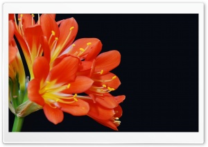 Clivia Miniata HD Wide Wallpaper for Widescreen