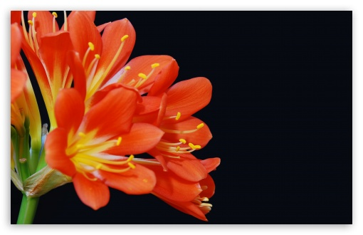 Clivia Miniata HD wallpaper for Wide 16:10 5:3 Widescreen WHXGA WQXGA WUXGA WXGA WGA ; HD 16:9 High Definition WQHD QWXGA 1080p 900p 720p QHD nHD ; UHD 16:9 WQHD QWXGA 1080p 900p 720p QHD nHD ; Standard 4:3 5:4 3:2 Fullscreen UXGA XGA SVGA QSXGA SXGA DVGA HVGA HQVGA devices ( Apple PowerBook G4 iPhone 4 3G 3GS iPod Touch ) ; Tablet 1:1 ; iPad 1/2/Mini ; Mobile 4:3 5:3 3:2 16:9 5:4 - UXGA XGA SVGA WGA DVGA HVGA HQVGA devices ( Apple PowerBook G4 iPhone 4 3G 3GS iPod Touch ) WQHD QWXGA 1080p 900p 720p QHD nHD QSXGA SXGA ;