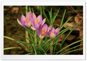Close Up Of Blooming Crocus HD Wide Wallpaper for Widescreen
