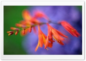 Close up of Crocosmia Flower HD Wide Wallpaper for Widescreen