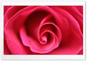 Close Up Pink Rose HD Wide Wallpaper for Widescreen