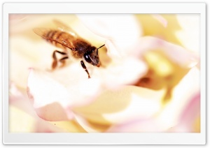 Closeup, Honey Bee, White Rose HD Wide Wallpaper for 4K UHD Widescreen desktop & smartphone