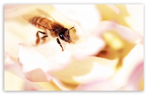 Closeup, Honey Bee, White Rose ❤ 4K UHD Wallpaper for Wide 16:10 5:3 Widescreen WHXGA WQXGA WUXGA WXGA WGA ; UltraWide 21:9 ; 4K UHD 16:9 Ultra High Definition 2160p 1440p 1080p 900p 720p ; Standard 4:3 5:4 3:2 Fullscreen UXGA XGA SVGA QSXGA SXGA DVGA HVGA HQVGA ( Apple PowerBook G4 iPhone 4 3G 3GS iPod Touch ) ; Smartphone 3:2 DVGA HVGA HQVGA ( Apple PowerBook G4 iPhone 4 3G 3GS iPod Touch ) ; Tablet 1:1 ; iPad 1/2/Mini ; Mobile 4:3 5:3 3:2 16:9 5:4 - UXGA XGA SVGA WGA DVGA HVGA HQVGA ( Apple PowerBook G4 iPhone 4 3G 3GS iPod Touch ) 2160p 1440p 1080p 900p 720p QSXGA SXGA ; Dual 16:10 5:3 16:9 4:3 5:4 3:2 WHXGA WQXGA WUXGA WXGA WGA 2160p 1440p 1080p 900p 720p UXGA XGA SVGA QSXGA SXGA DVGA HVGA HQVGA ( Apple PowerBook G4 iPhone 4 3G 3GS iPod Touch ) ;