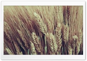 Closeup Of Golden Dry Wheat Heads HD Wide Wallpaper for Widescreen