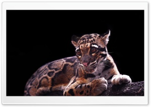 Clouded Leopard Ultra HD Wallpaper for 4K UHD Widescreen desktop, tablet & smartphone