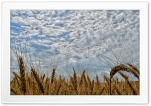 Clouds above the wheat field Ultra HD Wallpaper for 4K UHD Widescreen desktop, tablet & smartphone