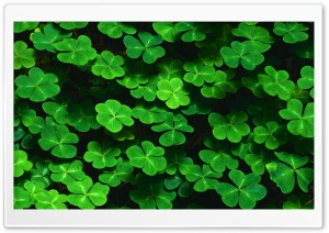 Clover HD Wide Wallpaper for Widescreen