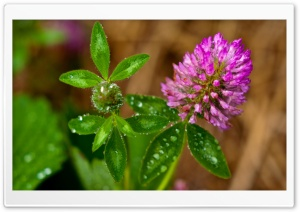 Clover Flower Macro HD Wide Wallpaper for Widescreen