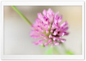 Clover Flower Macro Ultra HD Wallpaper for 4K UHD Widescreen desktop, tablet & smartphone