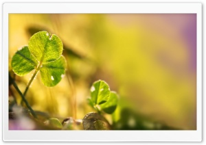 Clover Leaf, Bokeh HD Wide Wallpaper for Widescreen