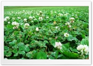 Clovers Close Up HD Wide Wallpaper for Widescreen