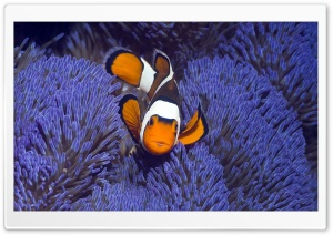 Clown Anemonefish West Papua Indonesia HD Wide Wallpaper for 4K UHD Widescreen desktop & smartphone
