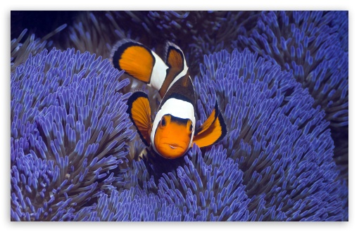 Clown Anemonefish West Papua Indonesia ❤ 4K UHD Wallpaper for Wide 16:10 5:3 Widescreen WHXGA WQXGA WUXGA WXGA WGA ; 4K UHD 16:9 Ultra High Definition 2160p 1440p 1080p 900p 720p ; Standard 4:3 5:4 3:2 Fullscreen UXGA XGA SVGA QSXGA SXGA DVGA HVGA HQVGA ( Apple PowerBook G4 iPhone 4 3G 3GS iPod Touch ) ; Tablet 1:1 ; iPad 1/2/Mini ; Mobile 4:3 5:3 3:2 16:9 5:4 - UXGA XGA SVGA WGA DVGA HVGA HQVGA ( Apple PowerBook G4 iPhone 4 3G 3GS iPod Touch ) 2160p 1440p 1080p 900p 720p QSXGA SXGA ;