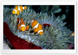 Clown Fish HD Wide Wallpaper for Widescreen