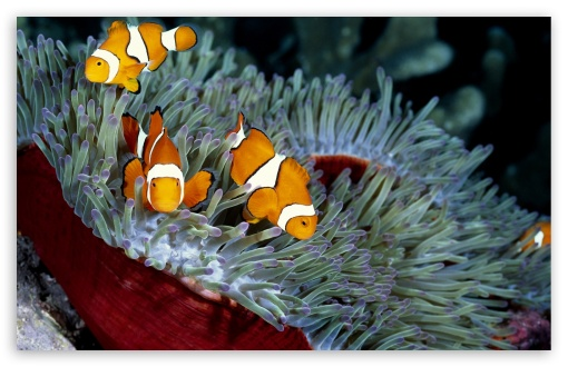 Clown Fish ❤ 4K UHD Wallpaper for Wide 16:10 5:3 Widescreen WHXGA WQXGA WUXGA WXGA WGA ; 4K UHD 16:9 Ultra High Definition 2160p 1440p 1080p 900p 720p ; Standard 4:3 5:4 3:2 Fullscreen UXGA XGA SVGA QSXGA SXGA DVGA HVGA HQVGA ( Apple PowerBook G4 iPhone 4 3G 3GS iPod Touch ) ; Tablet 1:1 ; iPad 1/2/Mini ; Mobile 4:3 5:3 3:2 16:9 5:4 - UXGA XGA SVGA WGA DVGA HVGA HQVGA ( Apple PowerBook G4 iPhone 4 3G 3GS iPod Touch ) 2160p 1440p 1080p 900p 720p QSXGA SXGA ;