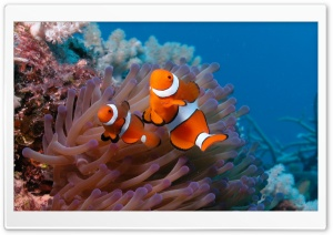 Clownfish And Sea Anemone HD Wide Wallpaper for Widescreen