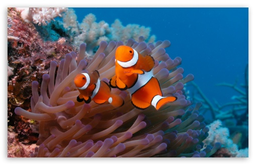 Clownfish And Sea Anemone HD wallpaper for Standard 4:3 5:4 Fullscreen UXGA XGA SVGA QSXGA SXGA ; Wide 16:10 5:3 Widescreen WHXGA WQXGA WUXGA WXGA WGA ; HD 16:9 High Definition WQHD QWXGA 1080p 900p 720p QHD nHD ; Other 3:2 DVGA HVGA HQVGA devices ( Apple PowerBook G4 iPhone 4 3G 3GS iPod Touch ) ; Mobile VGA WVGA iPhone iPad PSP Phone - VGA QVGA Smartphone ( PocketPC GPS iPod Zune BlackBerry HTC Samsung LG Nokia Eten Asus ) WVGA WQVGA Smartphone ( HTC Samsung Sony Ericsson LG Vertu MIO ) HVGA Smartphone ( Apple iPhone iPod BlackBerry HTC Samsung Nokia ) Sony PSP Zune HD Zen ; Tablet 2 Android ; Dual 4:3 5:4 16:10 5:3 16:9 UXGA XGA SVGA QSXGA SXGA WHXGA WQXGA WUXGA WXGA WGA WQHD QWXGA 1080p 900p 720p QHD nHD ;