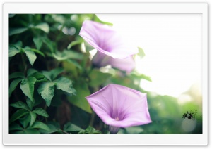 Coast Morning Glory (Ipomoea Cairica) HD Wide Wallpaper for Widescreen