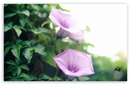 Coast Morning Glory (Ipomoea Cairica) HD wallpaper for Wide 16:10 5:3 Widescreen WHXGA WQXGA WUXGA WXGA WGA ; HD 16:9 High Definition WQHD QWXGA 1080p 900p 720p QHD nHD ; UHD 16:9 WQHD QWXGA 1080p 900p 720p QHD nHD ; Standard 4:3 3:2 Fullscreen UXGA XGA SVGA DVGA HVGA HQVGA devices ( Apple PowerBook G4 iPhone 4 3G 3GS iPod Touch ) ; iPad 1/2/Mini ; Mobile 4:3 5:3 3:2 16:9 - UXGA XGA SVGA WGA DVGA HVGA HQVGA devices ( Apple PowerBook G4 iPhone 4 3G 3GS iPod Touch ) WQHD QWXGA 1080p 900p 720p QHD nHD ; Dual 16:10 5:3 16:9 4:3 5:4 WHXGA WQXGA WUXGA WXGA WGA WQHD QWXGA 1080p 900p 720p QHD nHD UXGA XGA SVGA QSXGA SXGA ;