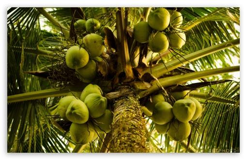 Coconut Tree 4K HD Desktop Wallpaper For • Wide & Ultra