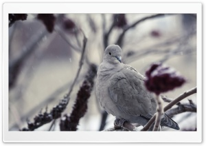 Collared Dove HD Wide Wallpaper for Widescreen
